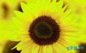 关于谜底是向日葵的谜语有哪些全部