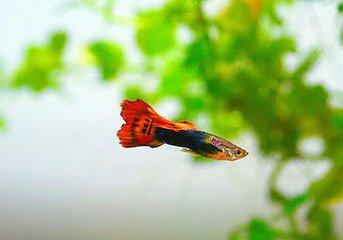 关于孔雀鱼怎么养不容易死_小孔雀鱼的饲养方法赏析